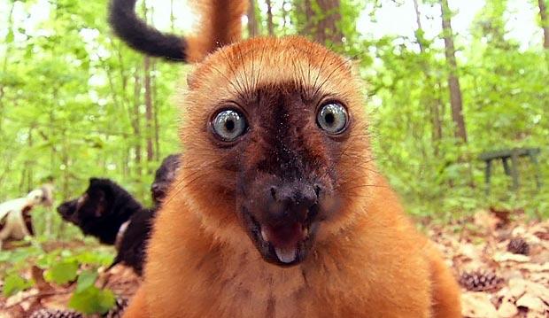 Duke lemurs_286