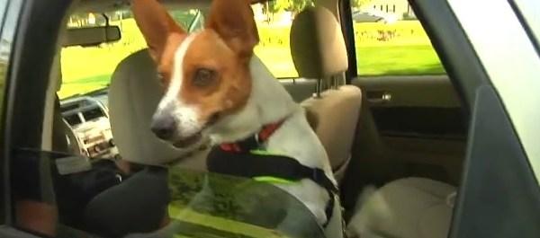 dog in car_45379