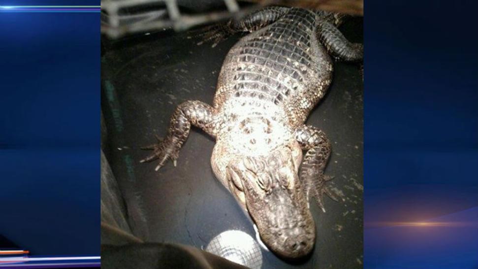 Illinois alligator_130168