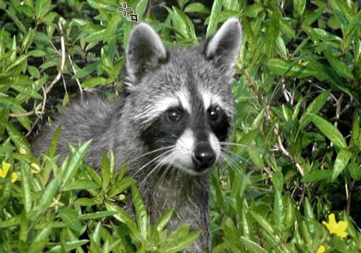 Rabid raccoon found off busy section of Raleigh's Wake Forest Road