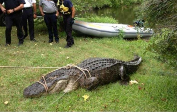 gator that ate dog_182951