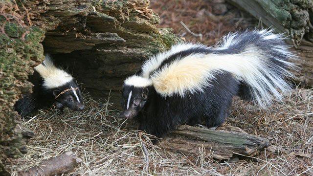 skunks_254119