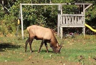 elk-sighting-in-sc_281140