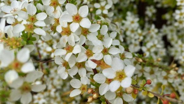 pollen trees flower_348415