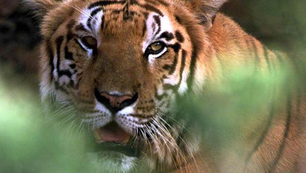 tiger generic_398450