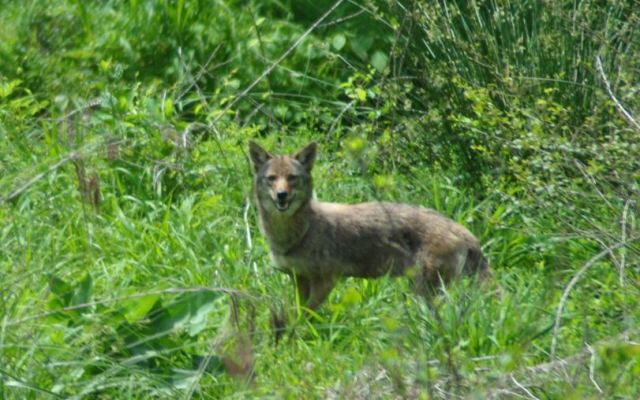 Wake County reports most coyote sightings in North Carolina