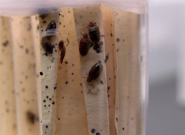 bed bugs_593838
