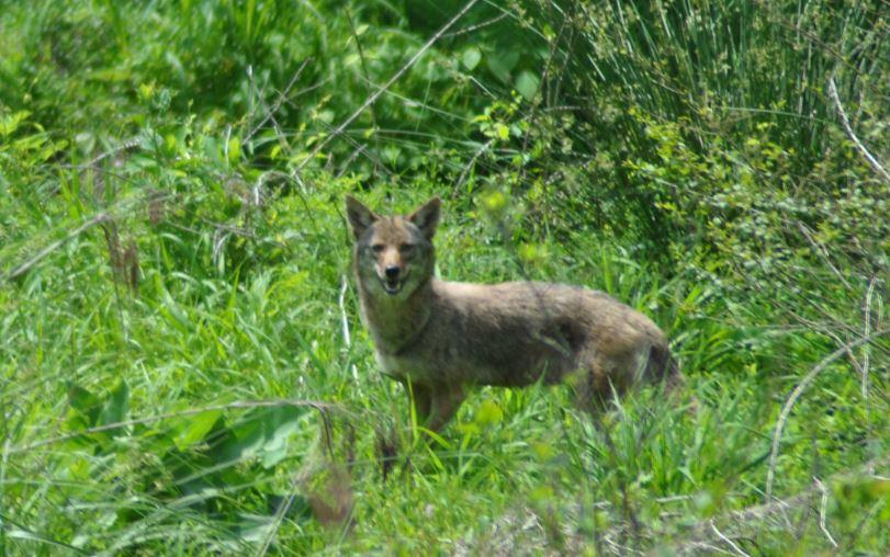 coyote_534213