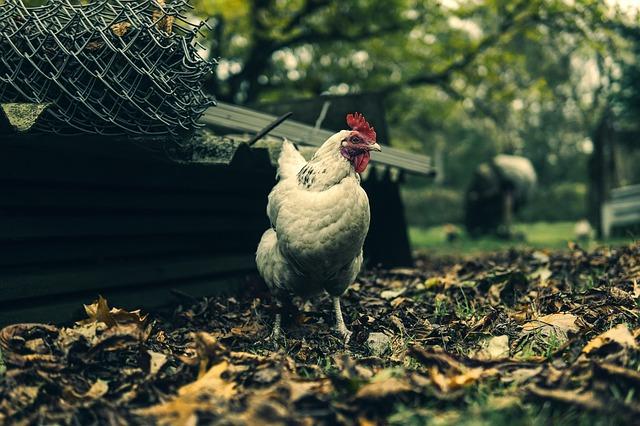 chicken coop generic_1522172249480.jpg.jpg