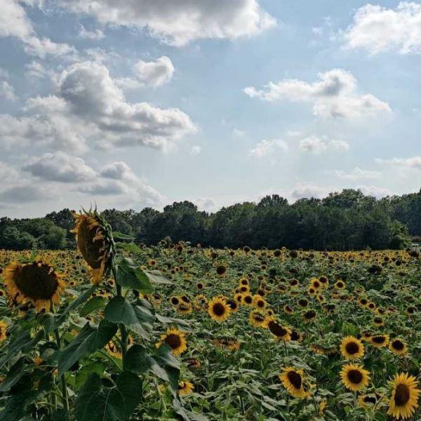 raleigh dix park sunflowers_1531475382015.JPG.jpg