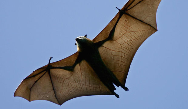 bat rabies generic_162736