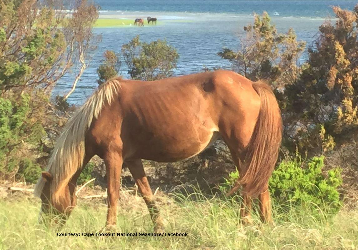 shackleford banks horses f_1538354384450.jpg.jpg