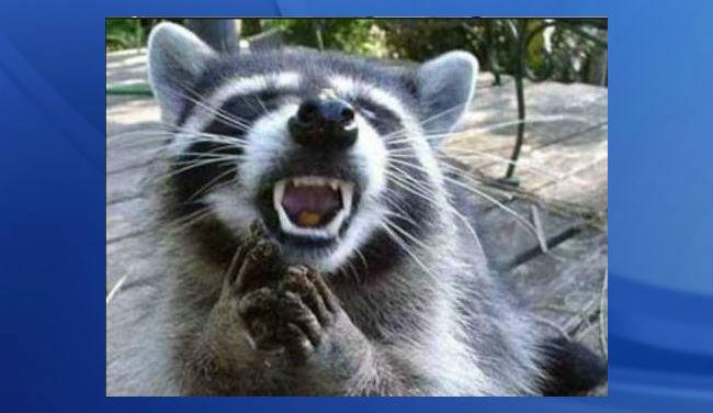 raccoon file image_201093