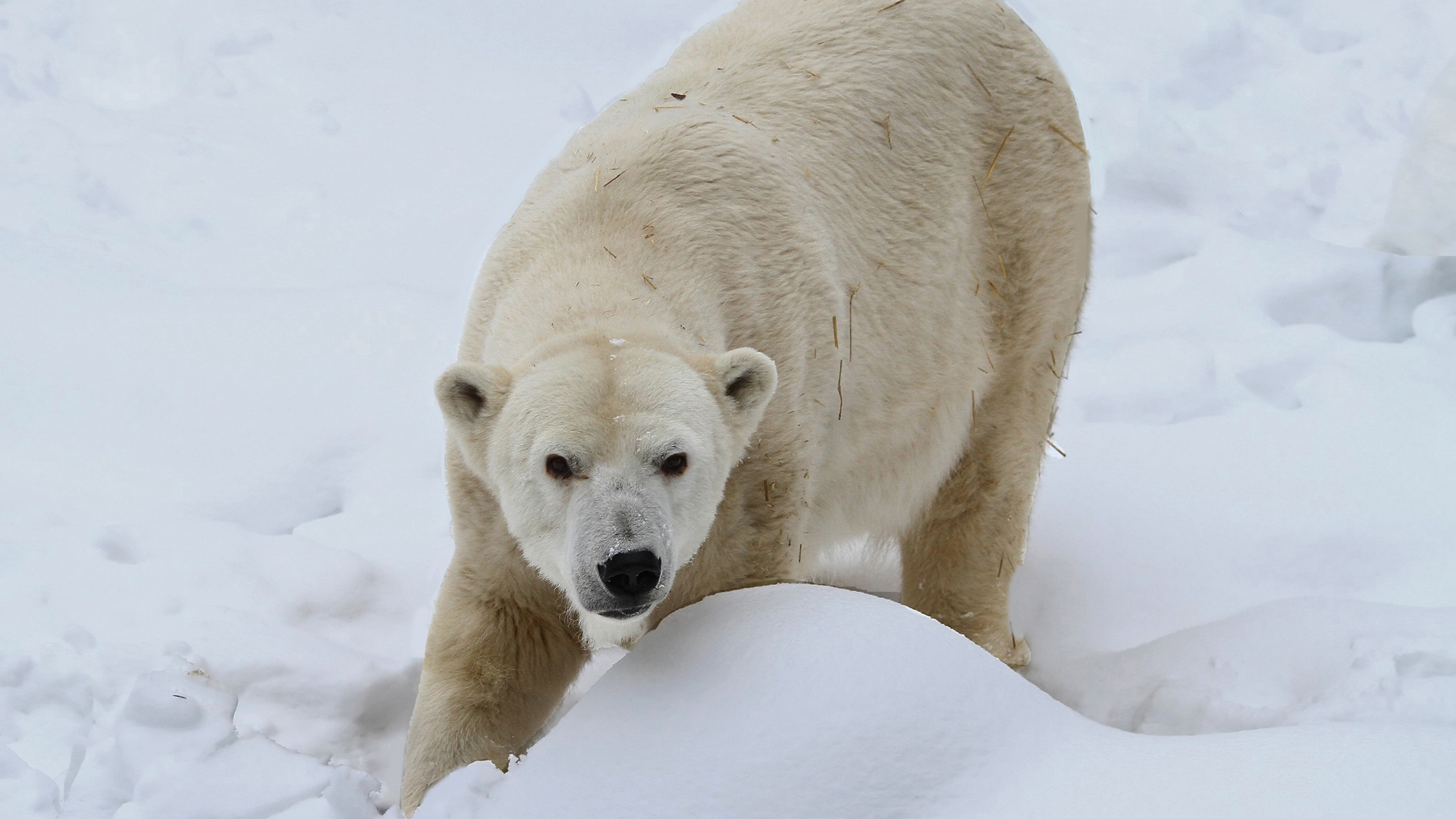 Zoo_Polar_Bear_Dies_12177-159532.jpg95970459