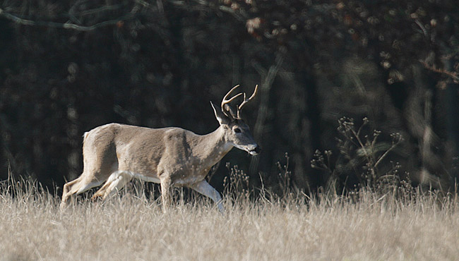 whitetail buck deer generic_546039