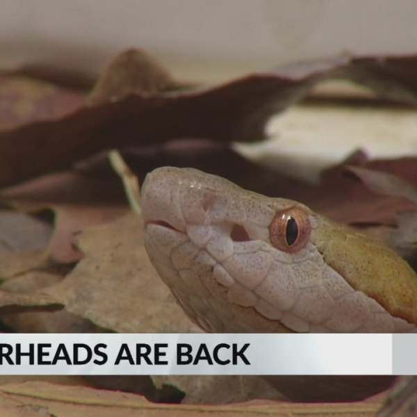 Copperheads_spotted_early_in_Wake_County_0_20190228232438