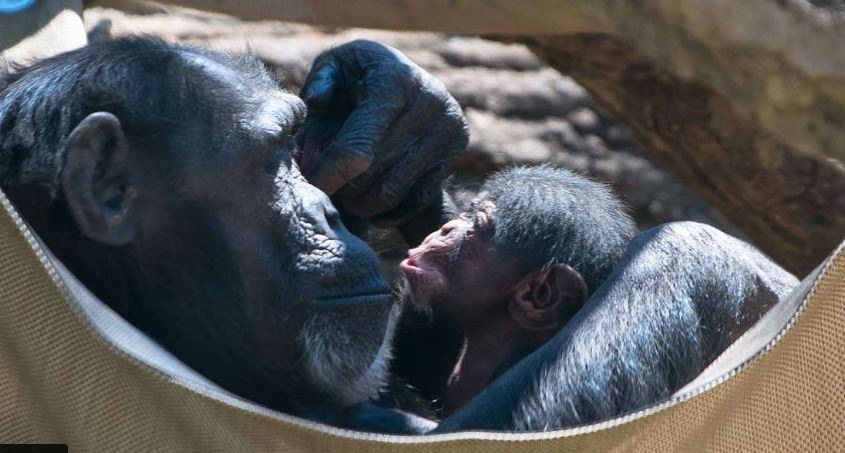 baby chimp nc zoo_1555104485970.JPG.jpg