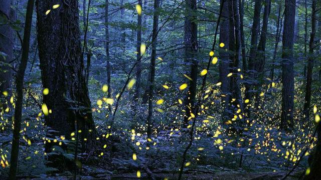 fireflies great smokies_1556110270842.jpg.jpg