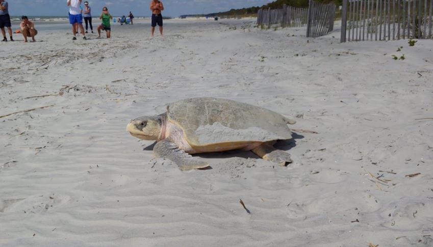 sea turtle hilton head 2_1556415275132.JPG.jpg