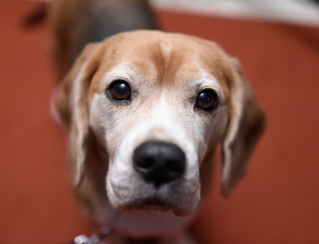 Beagles rescued from Chinese meat industry looking for homes in Wake County