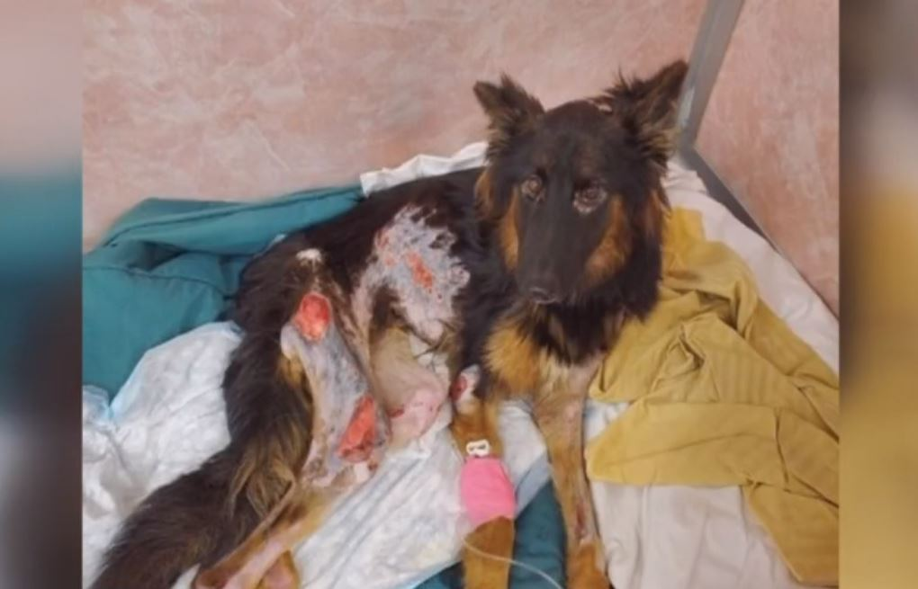 German Shepherd puppy recovering at hospital after being starved and