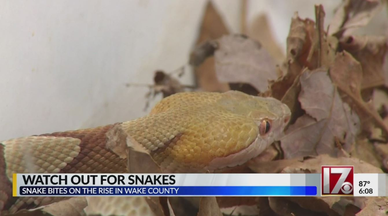 Snake bites on the rise in Wake County | CBS 17