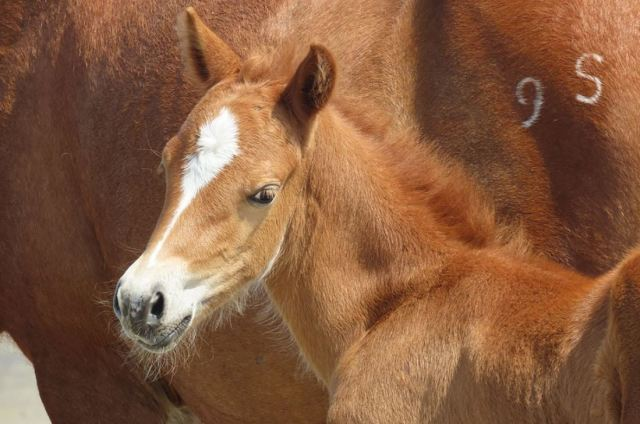 New foal born in wild horse group on NC island during Hurricane Dorian