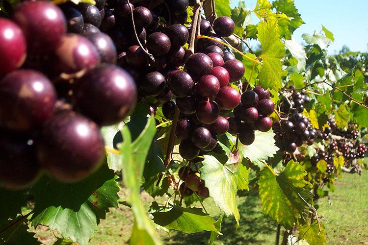 Hinnant Vineyard Grapes